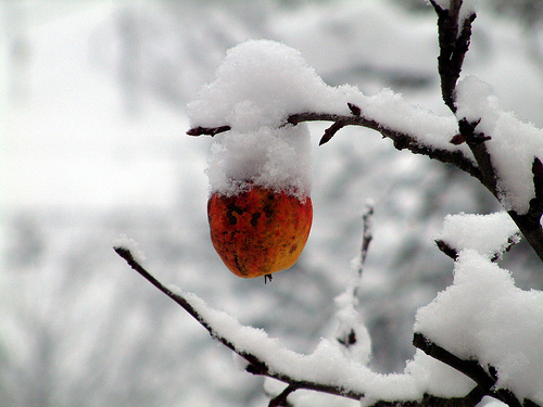 apple winter
